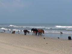 Corolla wild horses on the beach