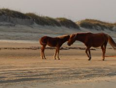See the Corolla wild horses with Bob's Wild Horse Tours