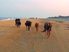 Corolla wild horses on the beach