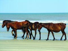 Wild Corolla horses on the beach