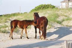 Wild horses on the beach in Corolla