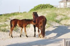 Wild horses on the beach in Corolla